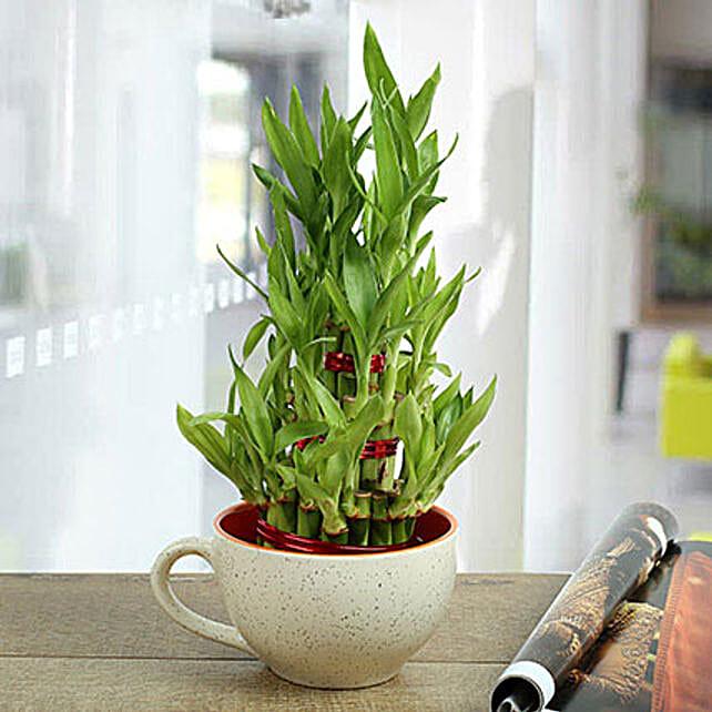 3 Layer Bamboo In White Mug: Spiritual and Vastu Plants