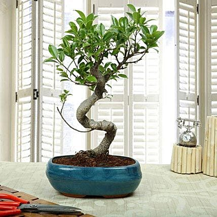 Amazing Bonsai Ficus S Shaped Plant: Bonsai Plants