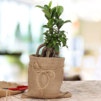 Amazing Ficus Microcarpa Plant: Gifts for Basant Panchami