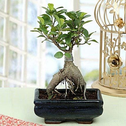 Appealing Ficus Ginseng Bonsai Plant: Gifts for Hug Day