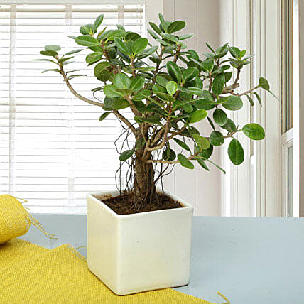 Attractive Ficus Iceland Bonsai Plant: Home Decor Gifts Ideas