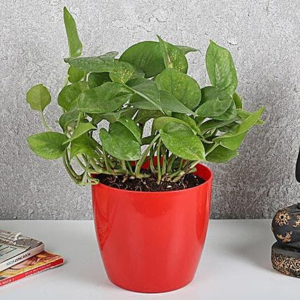 Auspicious Money Plant In Red Pot: Money Tree