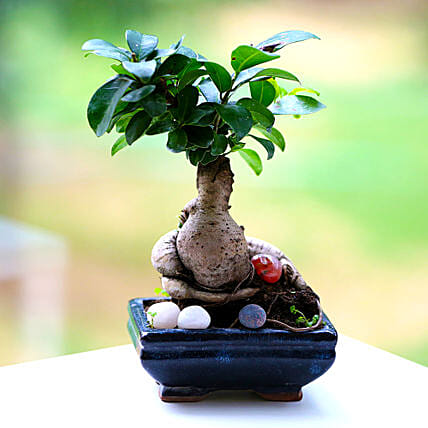 Beautiful Ficus Microcarpa Plant: Premium & Exclusive Gift Collection
