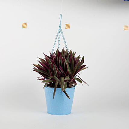 Boat Lily in Hanging Blue Metal Bucket: Hanging Plants