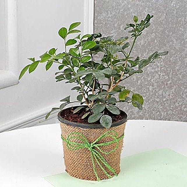 Evergreen Muraiya Exotica Dwarf Plant: Air Purifying Plants