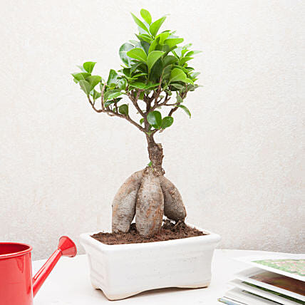 Exotic Ficus Bonsai Plant: Ornamental Plants