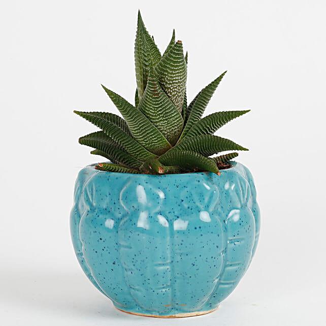 Exuberent Howarthia Attenuata Succulent Plant: Exotic Plants