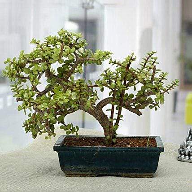 Fabulous Jade Bonsai Plant: Birthday Premium Gifts