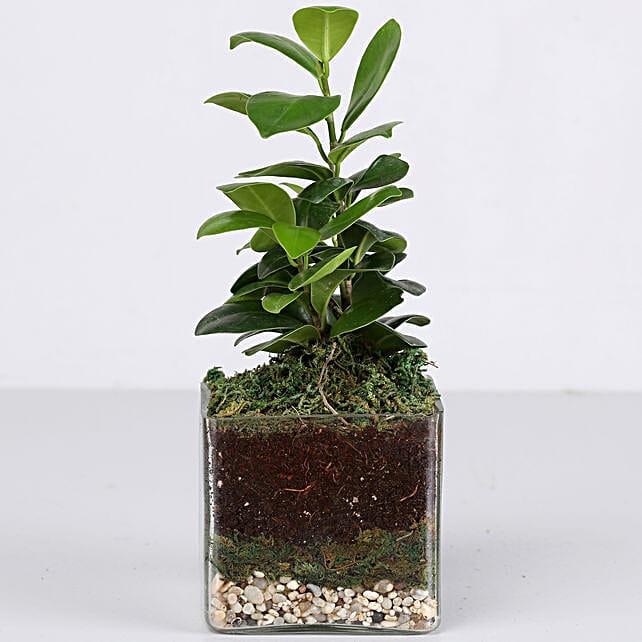 "Ficus Compacta Plant 3"" Glass Terrarium: Ornamental Plant Gifts"
