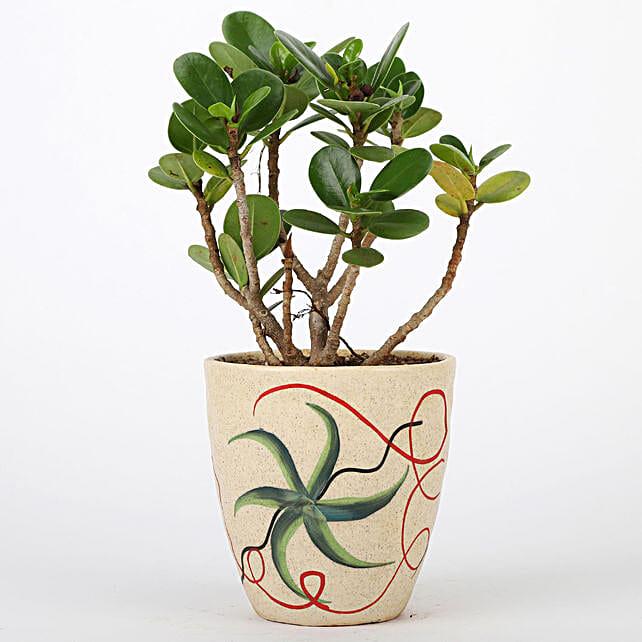 Ficus Dwarf Plant In Beautiful Ceramic Pot: Bonsai Plants