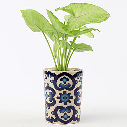 Golden Syngonium In Blue Ceramic Pot: Gift Ideas