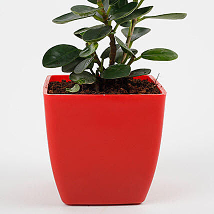 Gorgeous Ficus Compacta Plant: Air Purifying Plants