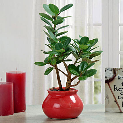 Green Ficus Dwarf Beauty Plant: Send Gifts for Pongal