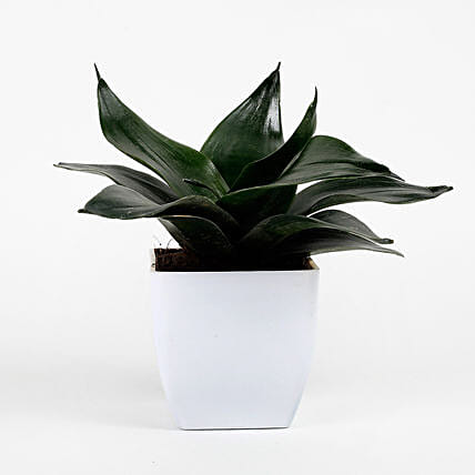 Green Sansevieria Plant In White Imported Plastic Pot: Succulents and Cactus Plants