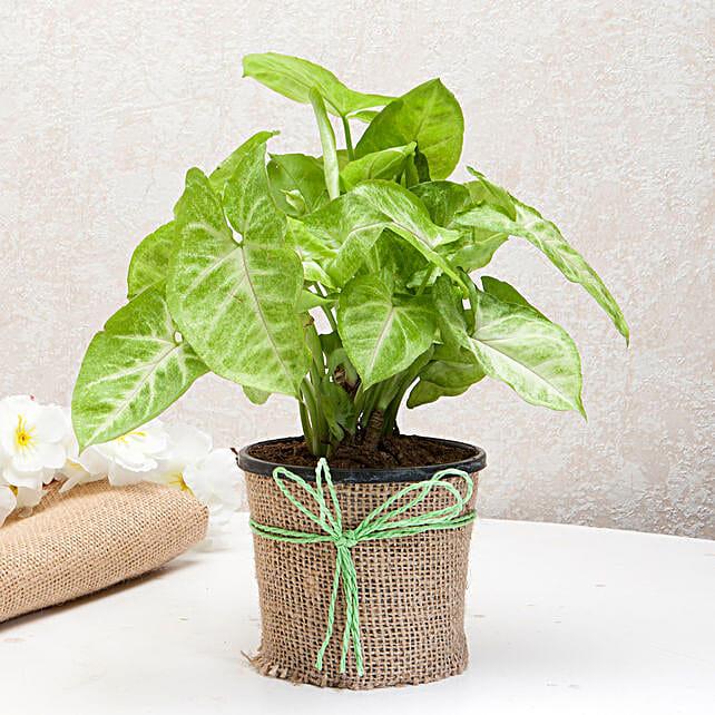 Hue of Green Syngonium Plant: Tropical Plants