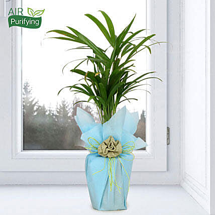 Impressive Areca Palm: Indoor Plants