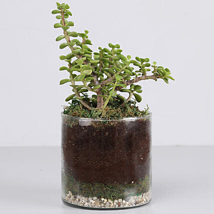 "Jade Plant 4"" Cylinder Glass Terrarium: Gifts to India"
