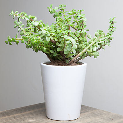 Lively Jade Plant: Succulents and Cactus Plants