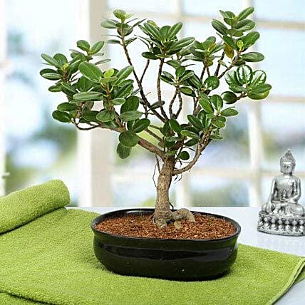 Lovely Ficus Iceland Bonsai Plant: Grand Parents Day Gifts
