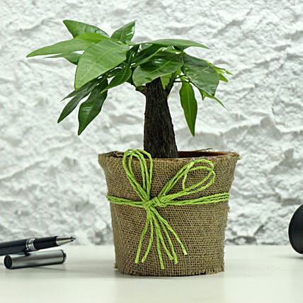 Lucky Money Tree: Tropical Plants