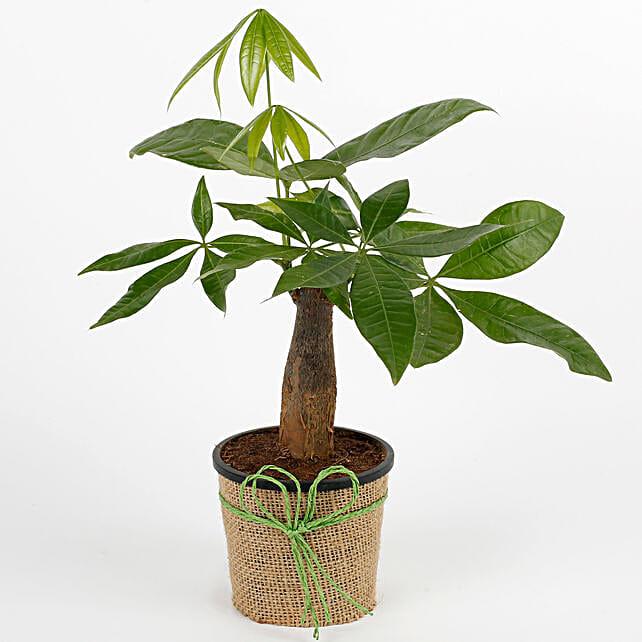 Lucky Pachira Bonsai Plant: Tropical Plants