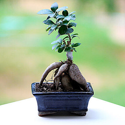 Marvellous Ficus Microcarpa Plant: Miss You Gifts