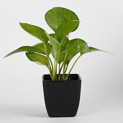 Money Plant in Black Imported Plastic Pot: Doctors Day Gifts