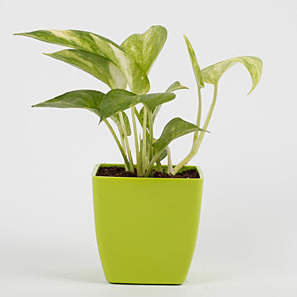 Money Plant in Imported Plastic Pot: Gifts to India