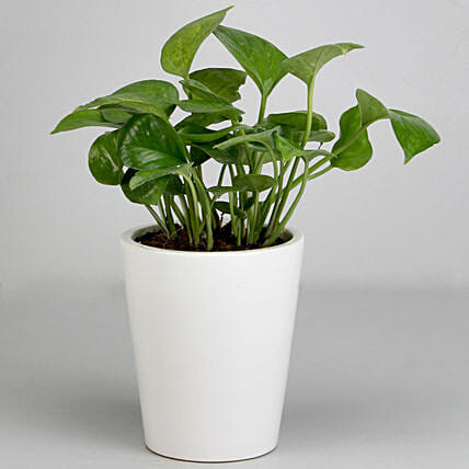 Money Plant in White Ceramic Pot: Money Plant