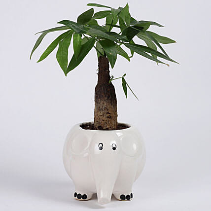 Pachira Bonsai in Elephant Ceramic Pot: