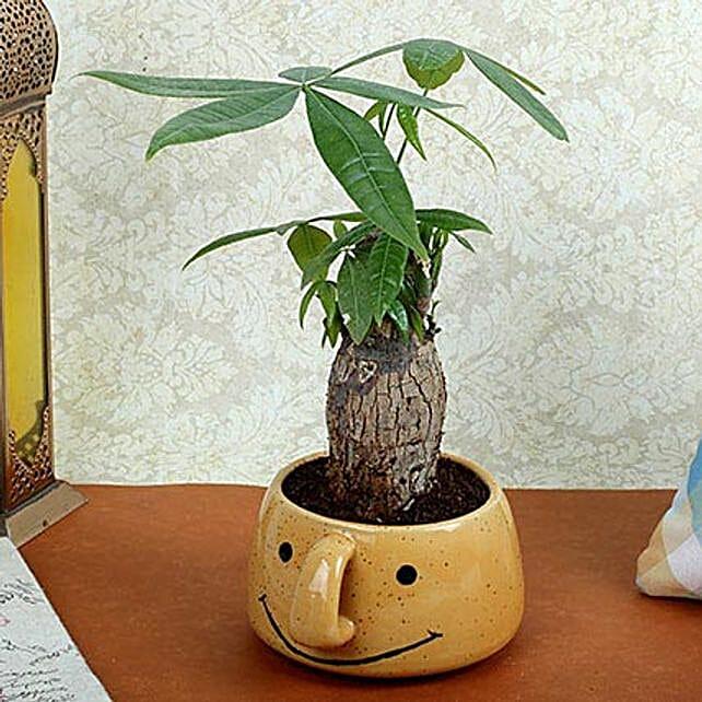 Pachira Bonsai In Yellow Vase: Desktop Plants