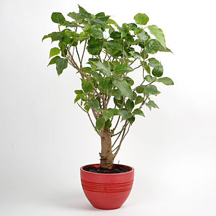 Paras Peepal Bonsai Plant in Recycled Plastic Pot: Indoor Plants