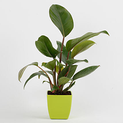 Philodendron Red Plant in Imported Plastic Pot: Tropical Plants