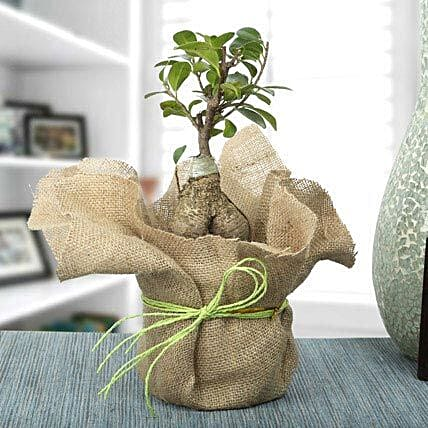 Picturesque Ficus Ginseng Bonsai Plant: Exotic Plants