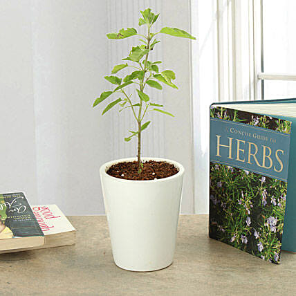 Potted Tulsi Plant