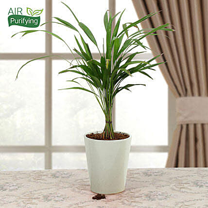 Refresh Areca Palm: Air Purifying Plants