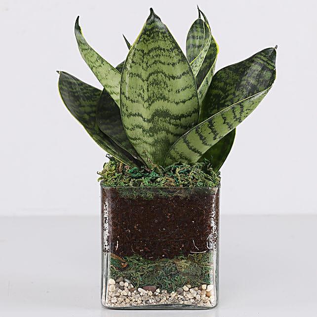 "Sanseaveria Green Compacta Plant 3"" Glass Terrarium:"
