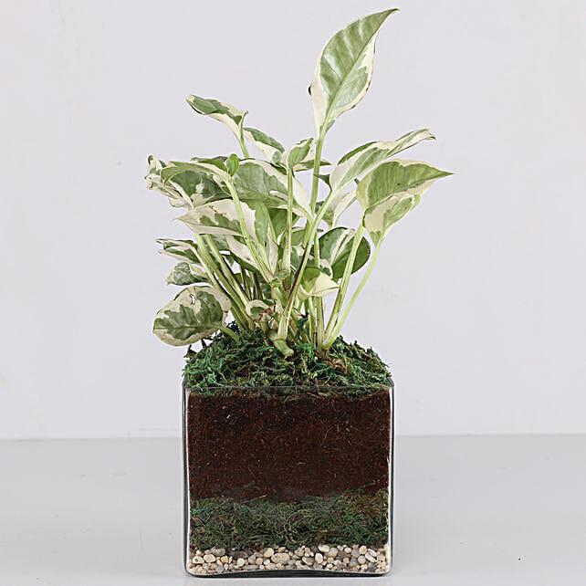 """Scindapsus N'Joy Plant 4"""" Glass Terrarium: Gift For Boss"""