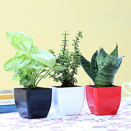 Set Of 3 Green Foliage Plants: Cactus and Succulents Plants