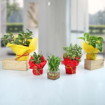 Set of 5 Fantastic Indoor Plants: Lucky Bamboo Plants