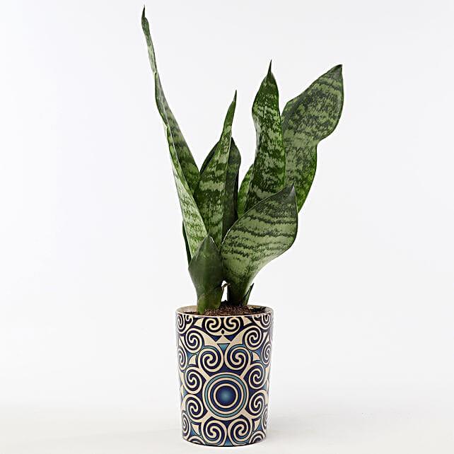 Snakeskin Sansevieria In Blue Ceramic Pot: Ornamental Plant Gifts