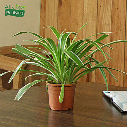 Spider Plant: Home Decor Anniversary Gifts