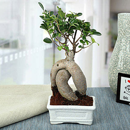 Splendid Ficus Ginseng Bonsai Plant: Outdoor Plants