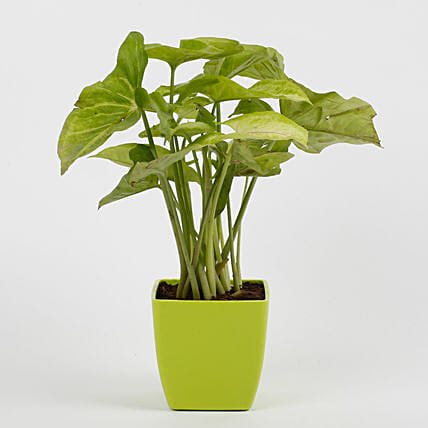 Syngonium Green Plant in Imported Plastic Pot: Send Good Luck Plants