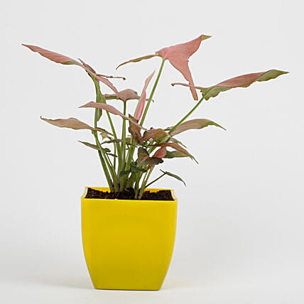 Syngonium Pink Plant in Imported Plastic Pot: Gifts for Brothers Day