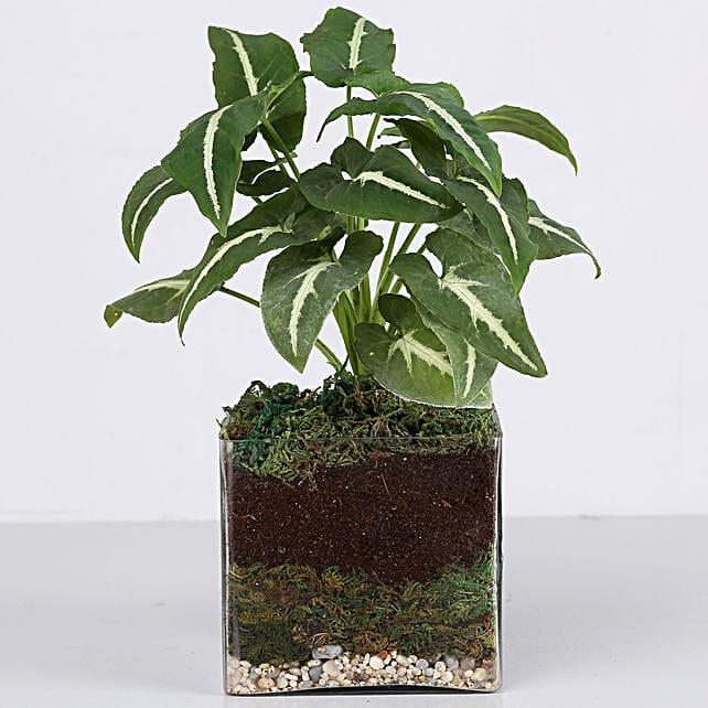 "Syngonium Plant 4"" Square Glass Terrarium: Gifts to India"