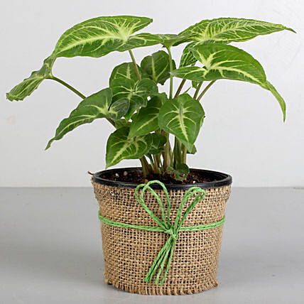 Syngonium Plant in Black Plastic Pot: Potted Plants
