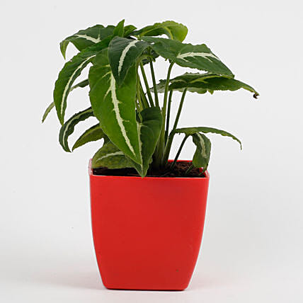 Syngonium Wedlendi Plant in Imported Plastic Red Pot: