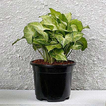 Syngonium White Plant In Black Pot: Send Spiritual Gifts