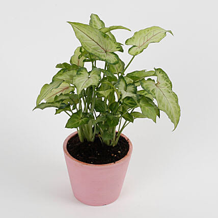 Syngonium White Plant in Recycled Plastic Conical Peach Pot: Flowering Plants